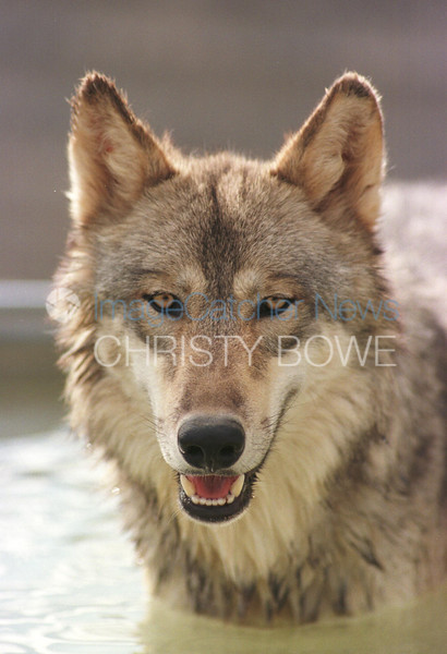 9/9/99<br /> Wolf Mountain Sanctuary<br /> Lucerne Valley California<br /> <br /> Durango, a McKenzie Valley Timber Wolf, cools off during a hot day.<br /> <br /> photo by Christy Bowe / ImageCatcher News / PHOTOlink