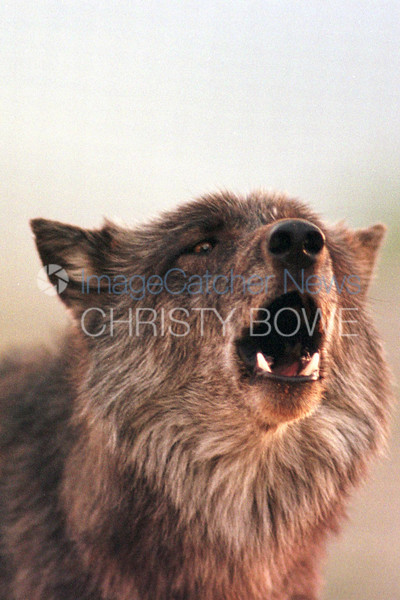 9/9/99 <br /> Wolf Mountain Sanctuary<br /> Lucerne Valley California<br /> <br /> Sagoni, a British Columbian Black Wolf howls along with the rest of the pack  in response to Tonya's call.<br /> <br /> photo by : Christy Bowe / ImageCatcher News/ PHOTOlink