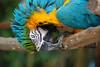 Peeking parrot, Ardastra Gardens, Nassau, Bahamas February 2010.