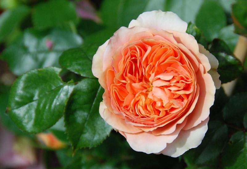 Orange rose, Bonn, Germany. May 2014.