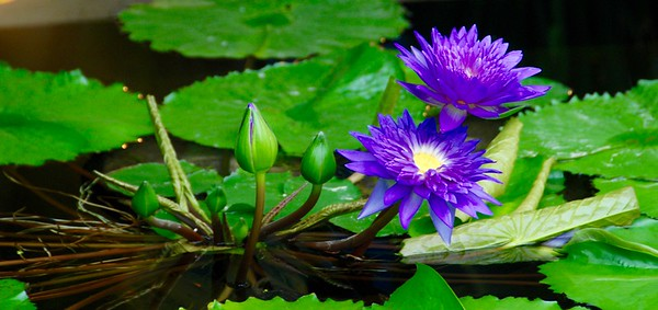 Water lilies Lauritsen Gardens, Omaha, September 2016.