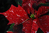 Poinsettia at Tonkadale Greenhouse, Minnetonka, MN, November 2010.