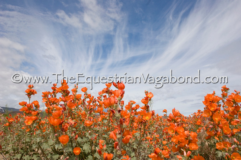 DL-3071 Globemallow