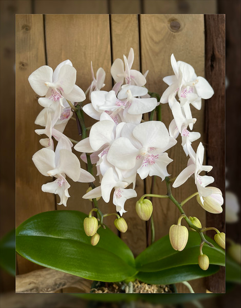 NEW! Phal Lawrence of Arabia
