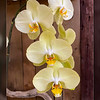 Lemon Yellow highly scented phalaenopsis