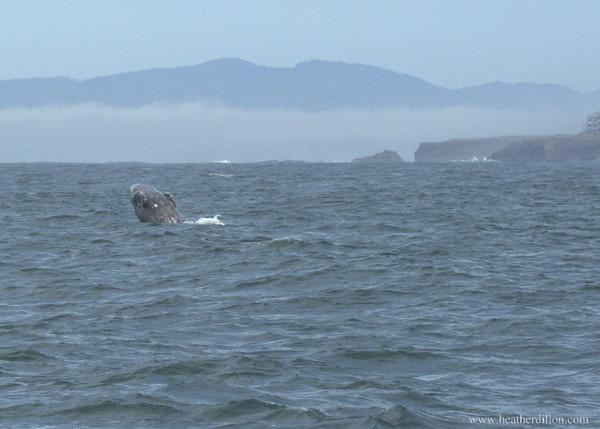 Gray whale near Depot Bay, Oregon