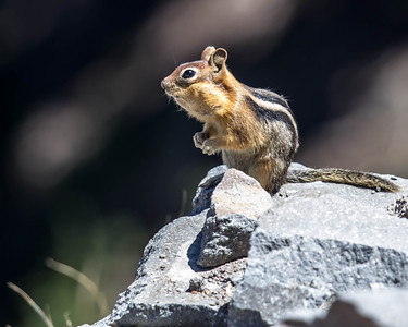 Chipmunks are friendly at Crater Lake