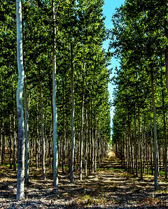Poplar Tree Farm 2