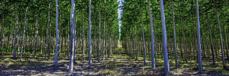 Poplar Tree Farm 3