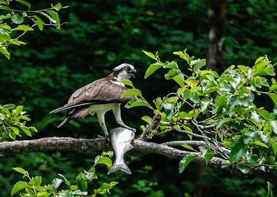 Osprey, Rogue River, Oregon