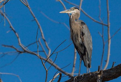 Great Blue Heron in Tree