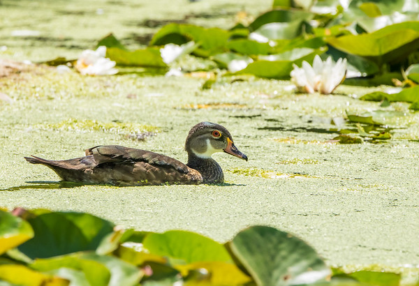 Wood Duck on Summer Pond
