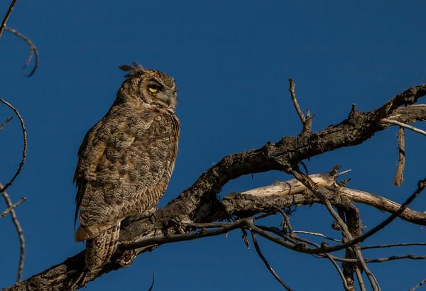 Sunrise Owl