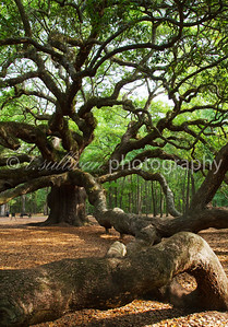 The Angel Oak, a 1500 year old oak tree near Charleston SC