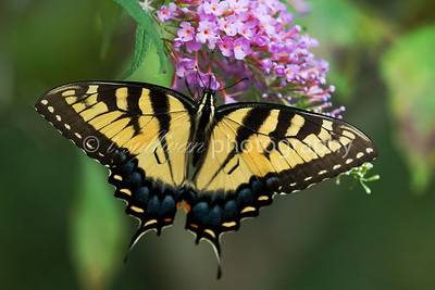 An Eastern Tiger Swallowtail butterfly feeds on a butterfly bush.