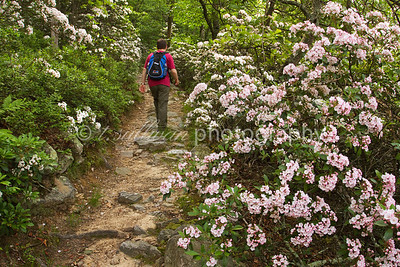 Mountain laurel lines the Kennedy Peak trail