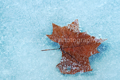A fallen leaf trapped in ice.