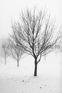 Trees blanketed in fog after a snow storm.