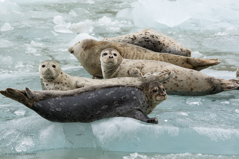 Harbor Seals Relax on Ice Floes Near Sawyer Glacier