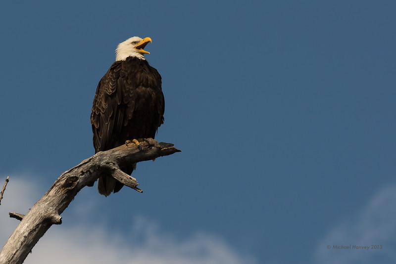 Bald Eagle on Lookout Perch Near Nest
