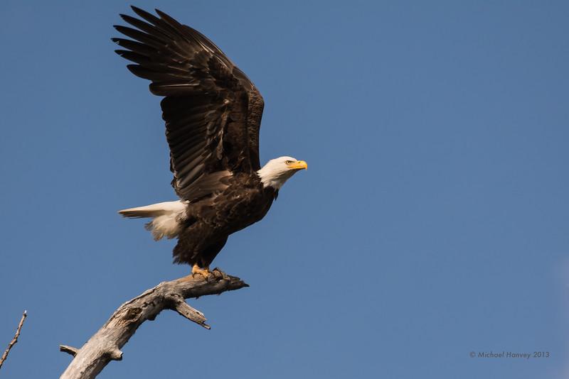 Bald Eagle Prepares for Launch