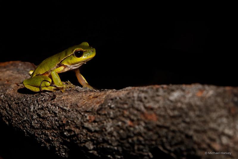 Green Stream Frog (Litoria phyllocroa)