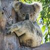 Koala (Phascolarcrtos cinereus)