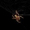 Australian Garden Orb Weaver (Eriophora transmarina)