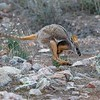 Yellow-footed Rock Wallaby (Petrogale xanthopus)
