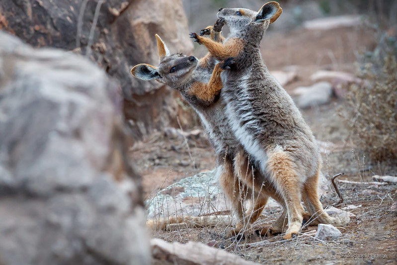 Yellow-footed Rock Wallabies (Petrogale xanthopus)
