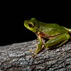Green Stream Frog (Litoria phyllocroa)