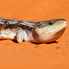 Common Blue-tongue Lizard (Tiliqua scincoides)