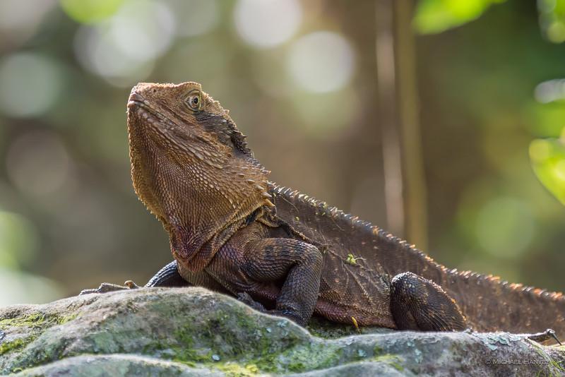 Eastern Water Dragon (Itellagama lesueurii lesueurii)