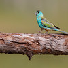 Immature Golden-shouldered Parrot
