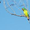 Swift Parrot (Lathamus discolor)