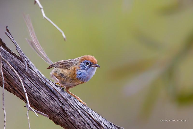 Mallee Emu-wren (Stipiturus mallee)