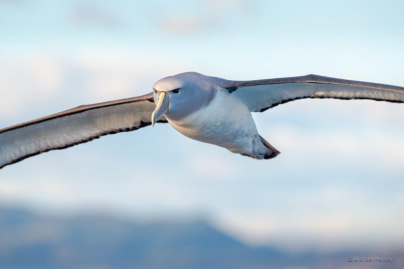 Salvin's Albatross (Thalassarche salvini)