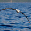 Northern Royal Albatross (Diomedia sanfordi)