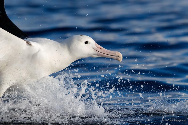 Northern Royal Albatross (Diomedia sanfordi)