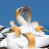 Australasian Gannets (Morus serrator)