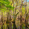 Congaree Cypress Swamp