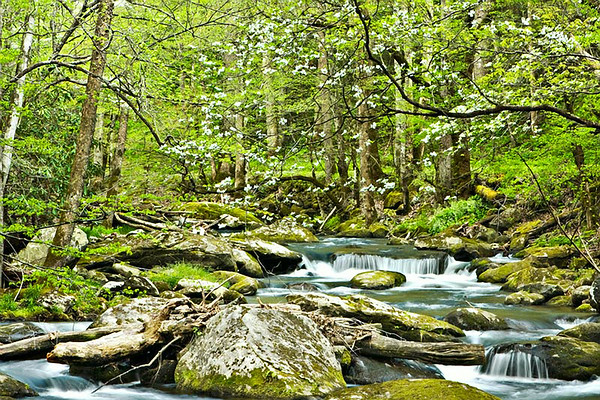 Smoky Mountain Dogwoods