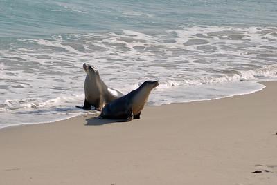 zwei Seelöwen