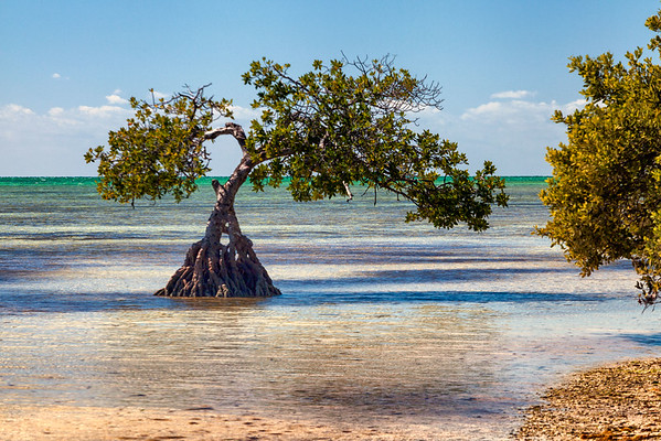 Lonely Mangrove