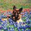 Nego (aka Nikki) at 9 months old, just posing in the bluebonnets.