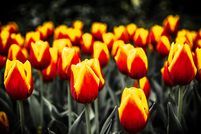 Tulips in Keukenhof Botanical Garden, Netherlands