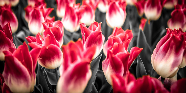 Tulips in Keukenhof Botanical Garden, Netherlands