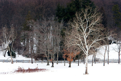Sycamore, Beech and Spruce in the Snow