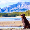 Tess, the Curly Coated Retriever, in Kananaskis