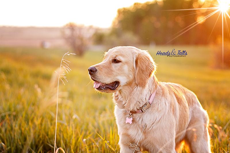 Bailey, the Golden Retriever's, summer portrait!